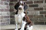 Picture of Hunter - English Springer Spaniel
