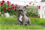 Picture of Boomer - French Bulldog