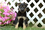 Picture of a German Shepherd Puppy