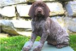 Picture of Triscuit - German Shorthaired Pointer