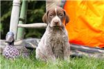 Picture of Indy - German Shorthaired Pointer