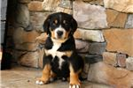 Picture of Kaine - Greater Swiss Mt Dog