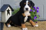 Picture of Katherine - Greater Swiss Mt Dog