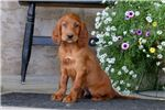Picture of Benji - Irish Setter