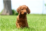 Picture of an Irishdoodle Puppy