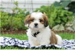 Picture of Jacob - Lhasa Apso