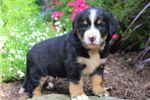 Picture of Ace - Labernese