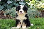 Picture of Marsh - Mini Bernedoodle