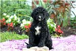 Picture of Ingrid - Bernedoodle