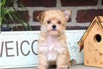 Picture of Chelsea - Morkie