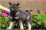 Travis - Norwegian Elkhound | Puppy at 49 weeks of age for sale