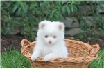 Picture of a Pomchi Puppy