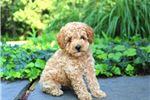 Picture of Derick - Mini Poodle