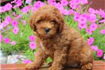 Picture of Haley - Mini Poodle MIX
