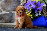 Picture of Sharon - Mini Poodle MIX