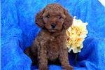 Picture of Carla - Mini Poodle MIX