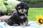 Picture of Jade - Mini Poodle MIX