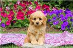 Picture of Eddie - Mini Poodle MIX