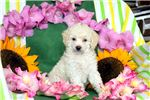 Picture of Nadene - Mini Poodle