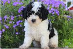 Picture of Blitz - Toy Poodle