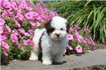 Picture of Colby - Toy Poodle