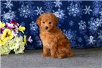 Picture of Randall - Toy Poodle