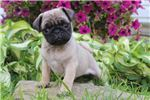 Bobby - Pug | Puppy at 7 weeks of age for sale