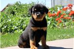 Picture of Blair - Rottweiler