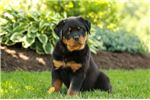 Picture of Kiera - Rottweiler