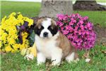 Picture of Tessa - Saint Bernard