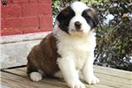 Saint Bernard - St. Bernard for sale