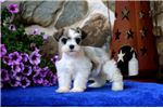 Schnauzer, Standard for sale