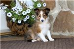 Picture of Haven - Sheltie