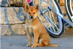 Picture of Lonnie - Shiba Inu MIX