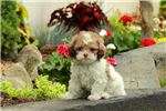Picture of Razzy - Shihpoo