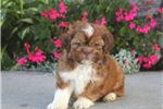 Picture of Victor - Shih Tzu