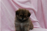 Picture of a Shihpom Puppy