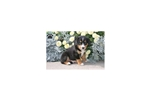Picture of Star / Entlebucher Mountain Dog
