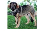 Picture of Buster / Tibetan Mastiff
