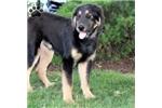 Picture of Billy / Tibetan Mastiff
