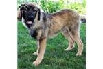 Picture of Bella / Tibetan Mastiff