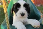 Picture of Duke-Tibetan Terrier