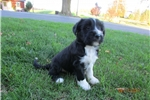Picture of Prince-Tibetan Terrier