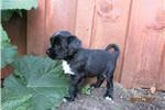 Picture of Sam-Tibetan Terrier
