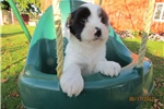 Tibetan Terrier for sale
