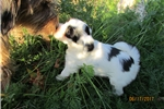 Picture of Lily-Tibetan Terrier