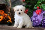 Picture of Gigi - Westiepoo