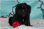 Picture of a Yorkiepoo - Yorkie Poo Puppy