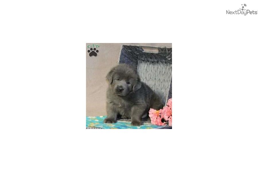 Dakota: Tibetan Mastiff puppy for sale near Lancaster