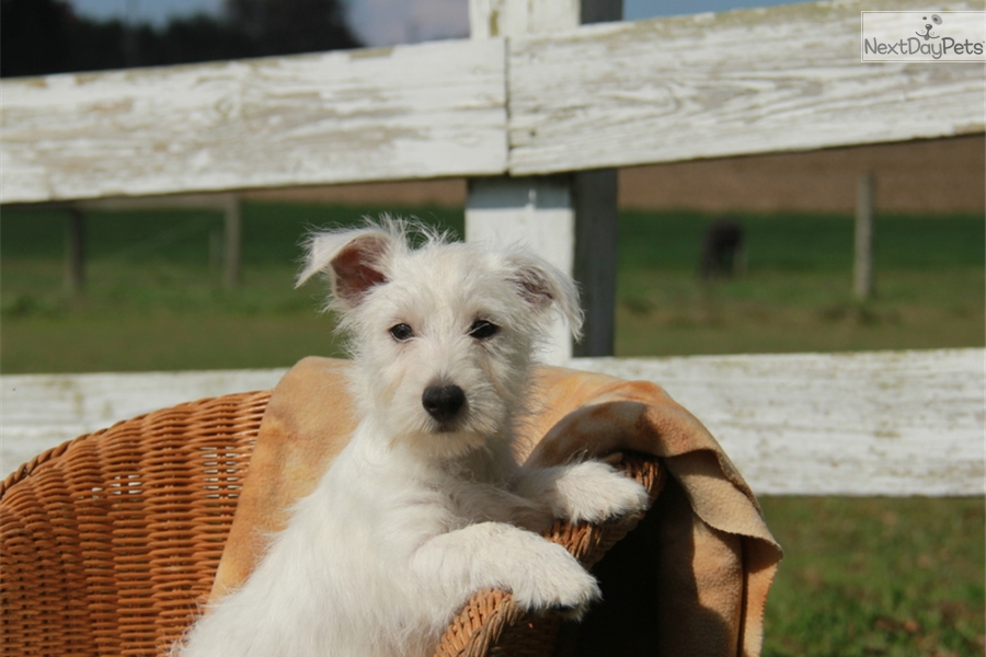 west highland terrier for sale near me west highland white terrier westie puppy for sale near 8345